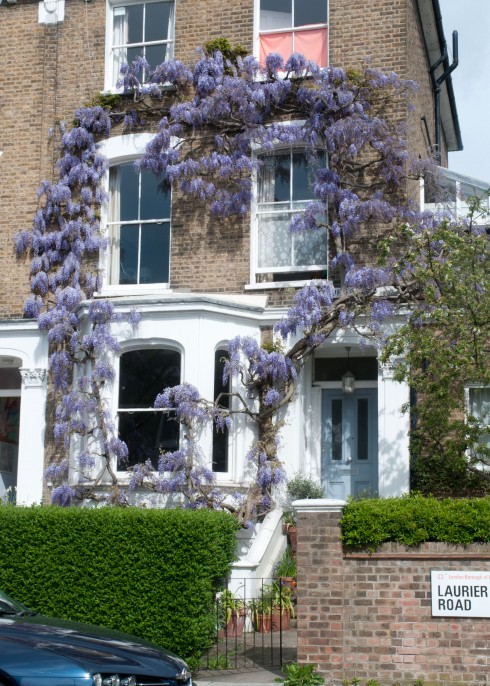 Wisteria on Laurier Road