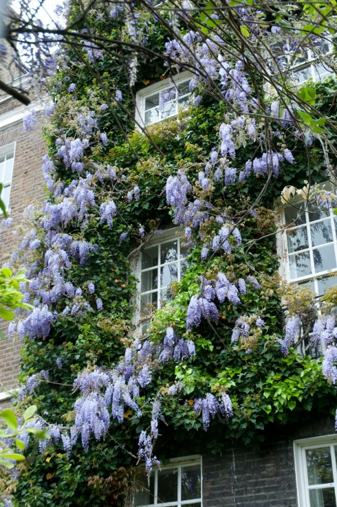 Wisteria with Ivy in Chelsea 2