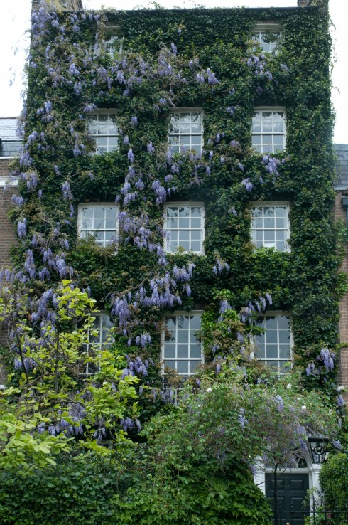 Wisteria with Ivy in Chelsea