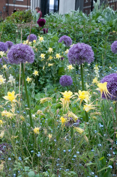 Allium and yellow aquilegia