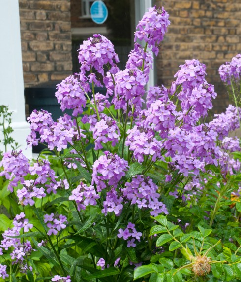 Hesperis Matronalis Out Of My Shed