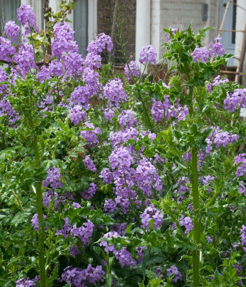 Hesperis Matronalis, Sweet Rocket