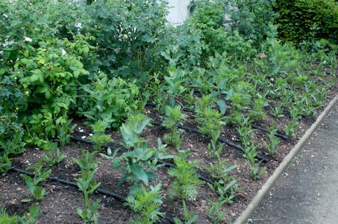 Suumer planting in Inner Temple Gardens, EC1 2