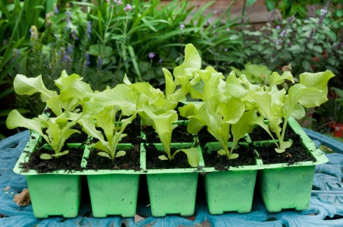 Black Seeded Simpson lettuce seedlings