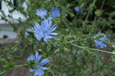 Chicory in a tree pit 2