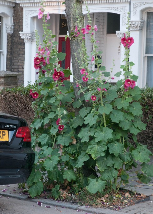 Hollyhocks growing in a tree pit
