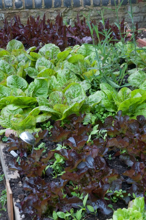 Lettuces in the front garden