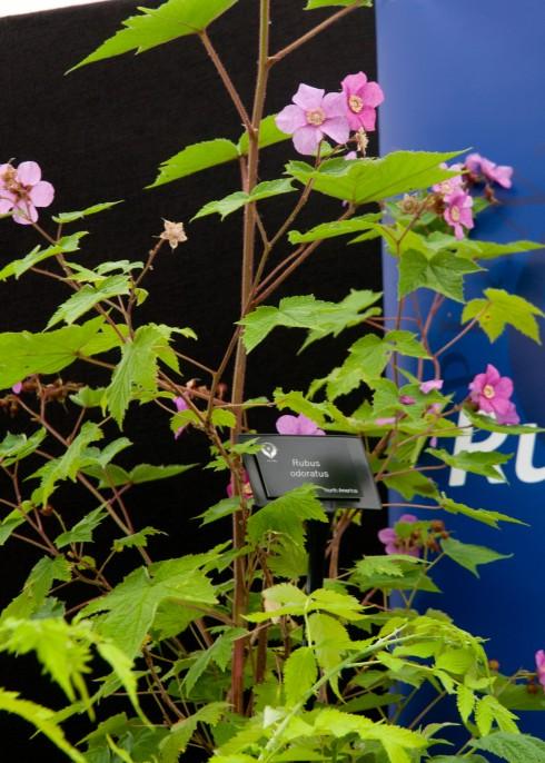 Rubus oderatus