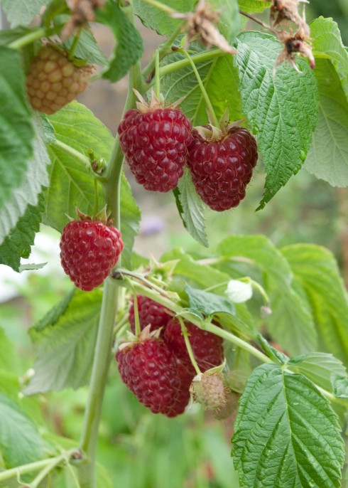 Polka raspberries