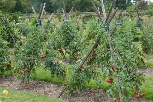 Tomatoes at Chateau de la Bourdaisiere