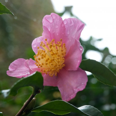 Camellia sasanqua in the rain