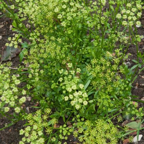 Flowering parsley at Wiveton Hall