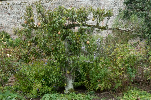 Gnarly old fruit tree in Wiveton Hall Kitchen Garden with vibrant blue Ceratostigma plumbaginoides