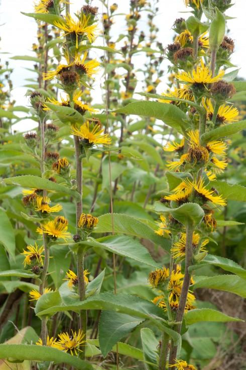 JP Autumn Garden, Inula Sonnenspeer
