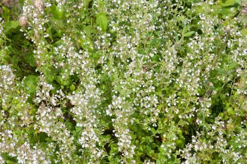 JP Flower garden, Calamintha nepeta nepeta
