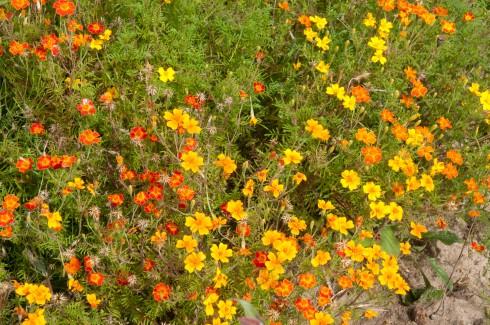 JP Flower garden Tagetes tennuifolia
