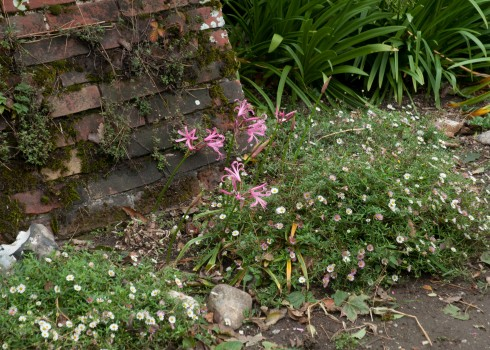 Nerine and Erigeron Karvinskianus in the Walled Garden at Wiveton Hall 2