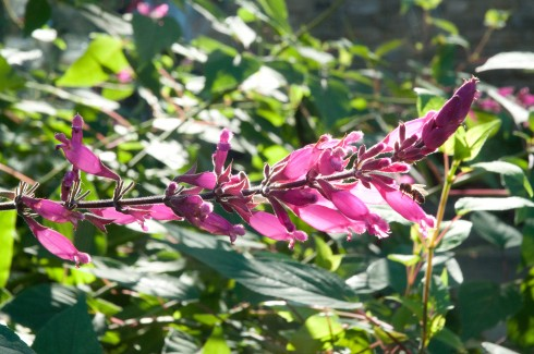 Salvia involucrata 'Bethellii' 4