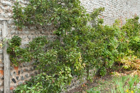 Trained fruit trees at Wiveton Hall