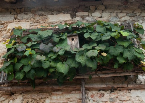 Bird box in trained vine at Prieure D'Orsan