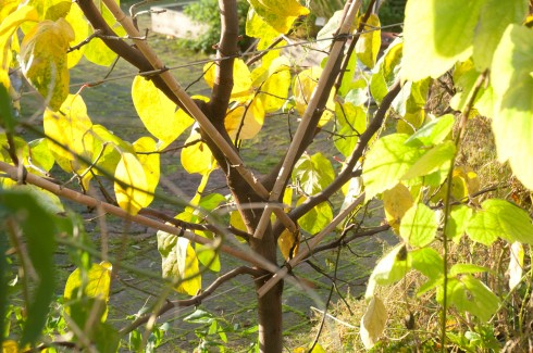 Fan trained quince tree at Chelsea Physic Garden-back view