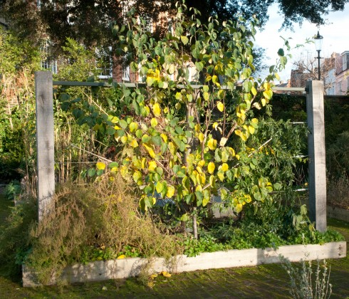 Fan trained quince tree at Chelsea Physic Garden