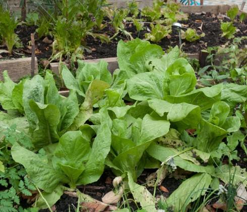 Sugarloaf chicories in front garden