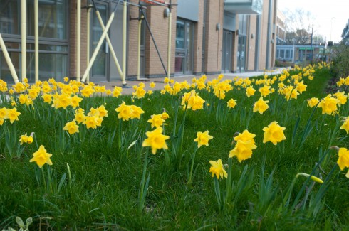 Daffs from March