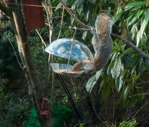 squirrel acrobatically noshing from squirrel proof bird feeder