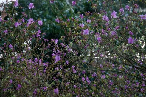 Rhododendron dauricum Midwinter
