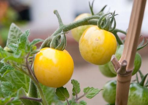 yellow tomatotes