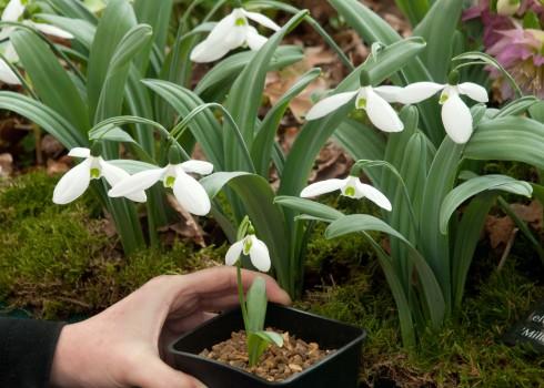 Galanthus elwesii 'Millers Late'