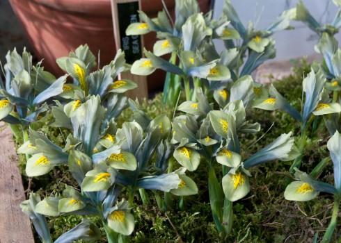 Iris Sea Green
