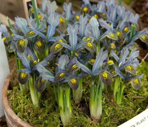 Iris Sorm