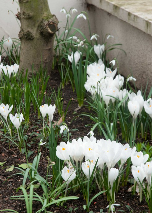 White Crocus and Snowdrops 3