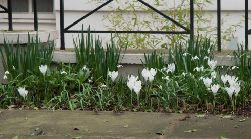 White Crocus and Snowdrops best