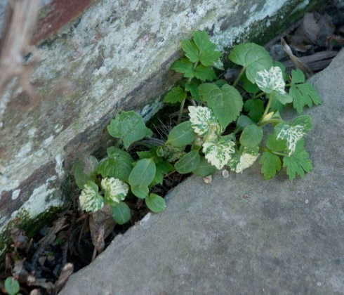 Green leaved and Variegated Honesty in a crack