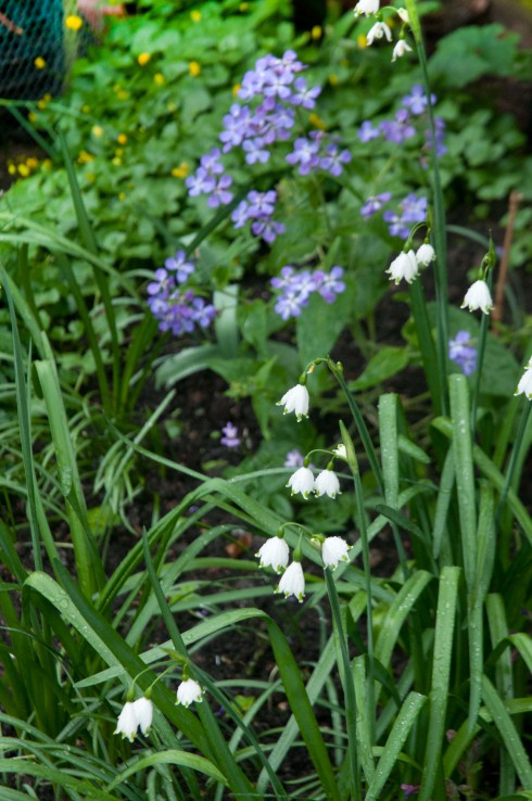 Leucojum and lunaria