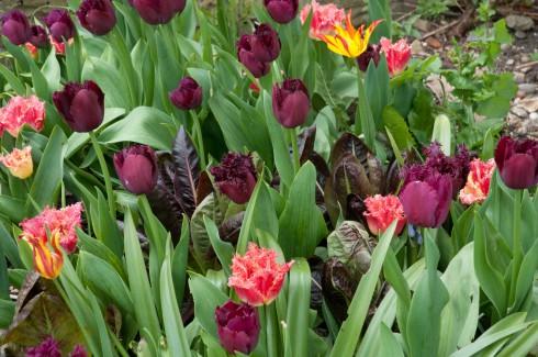 front garden tulips April 2015