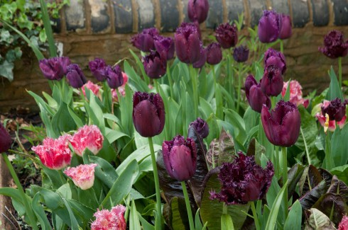 Gloomy tulips 2