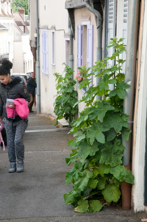 Guerilla Hollyhocks in Chartres 2