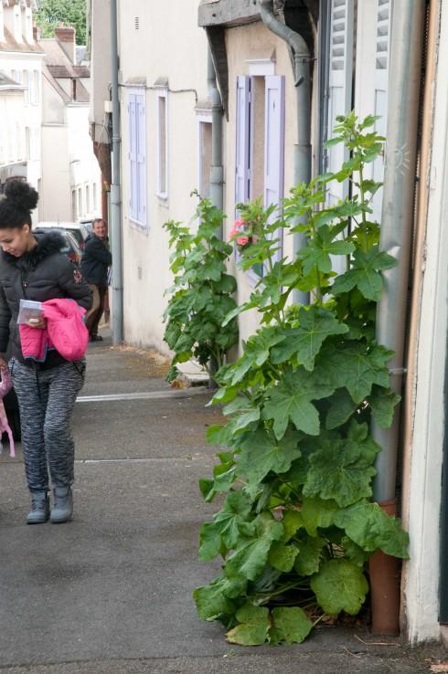 Guerilla Hollyhocks in Chartres 2