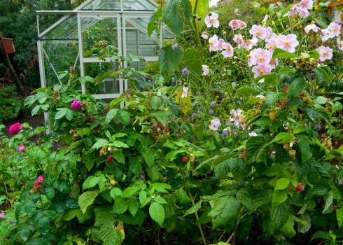 Raspberries in back garden