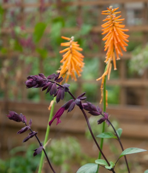 Salvia 'Love and Wishes and Kniphofia 'Light of the World' 2