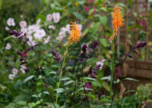 Salvia 'Love and Wishes and Kniphofia 'Light of the World'