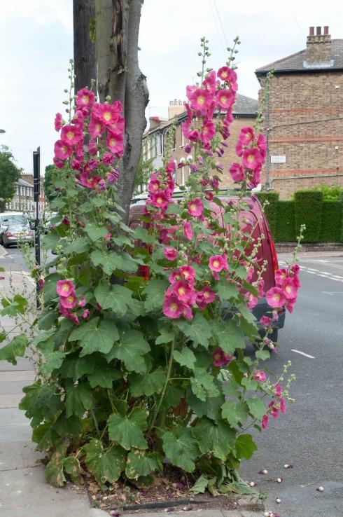 Deep pink Hollyhocks Ambler Road