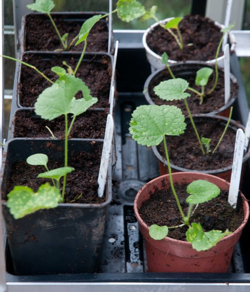 Hollyhock seedlings