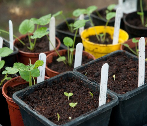 October Hollyhock seedlings