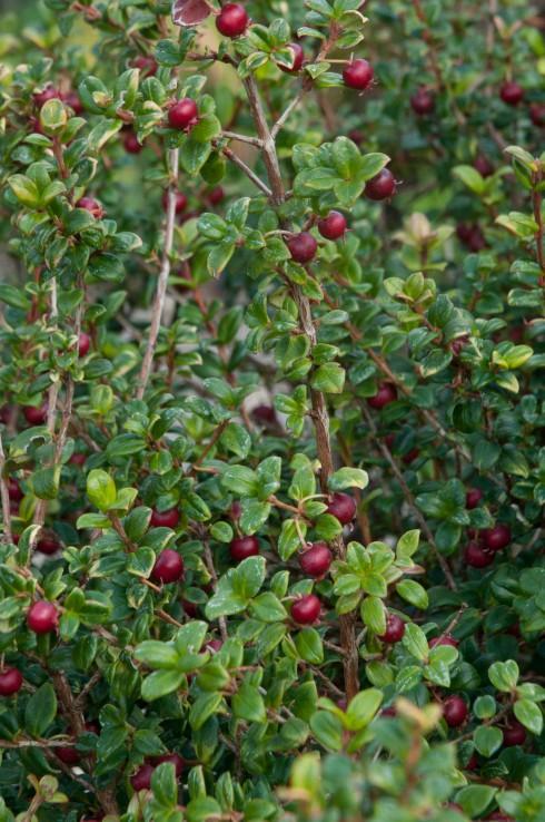 Chilean Guava berries