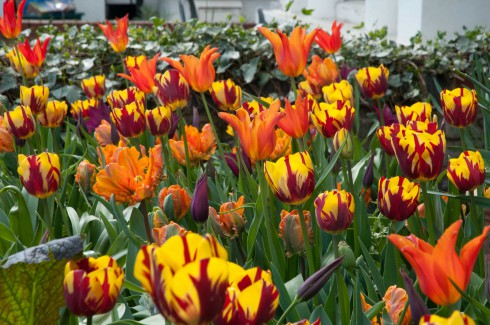 Tulips in front garden